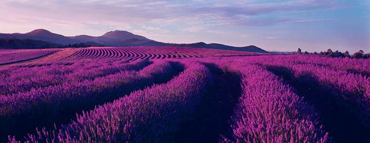 canh dong hoa oai huong lavender