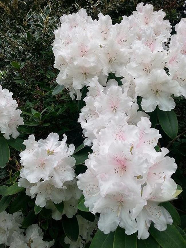 hoa do quyen cac mau12