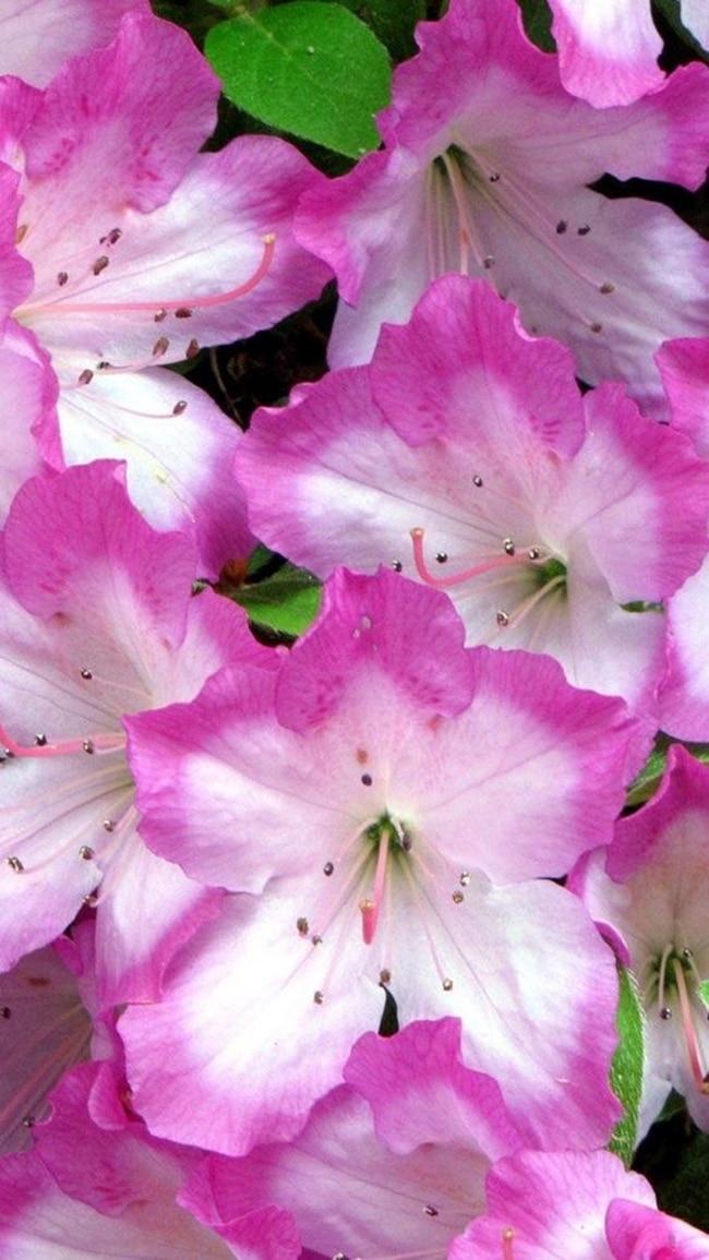 hoa do quyen cac mau14