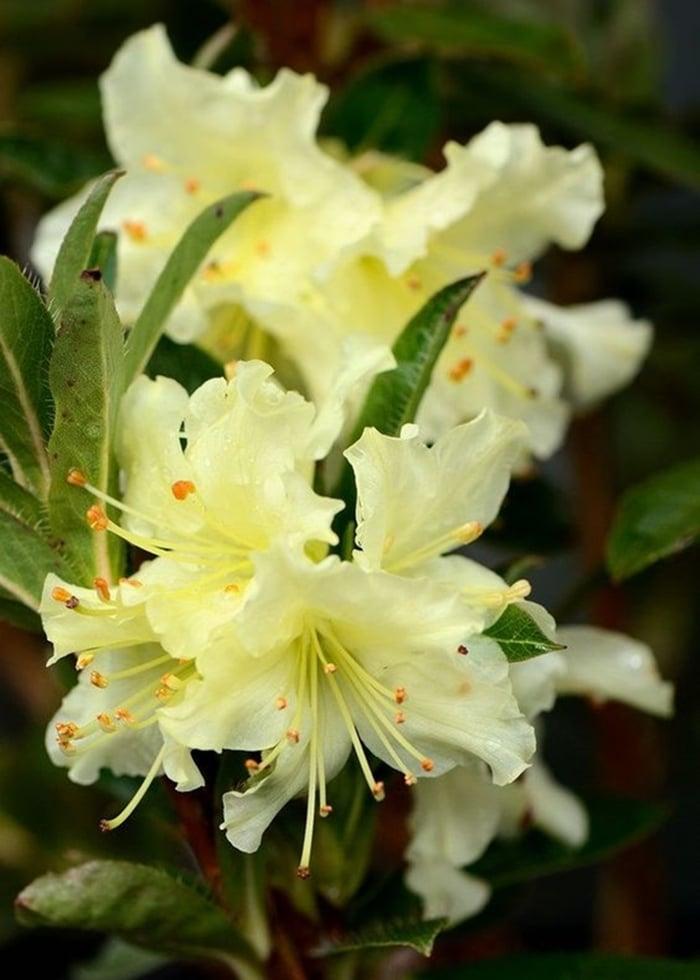 hoa do quyen cac mau17