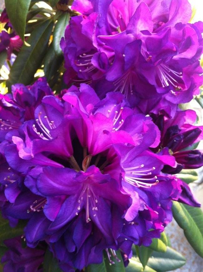 hoa do quyen cac mau2