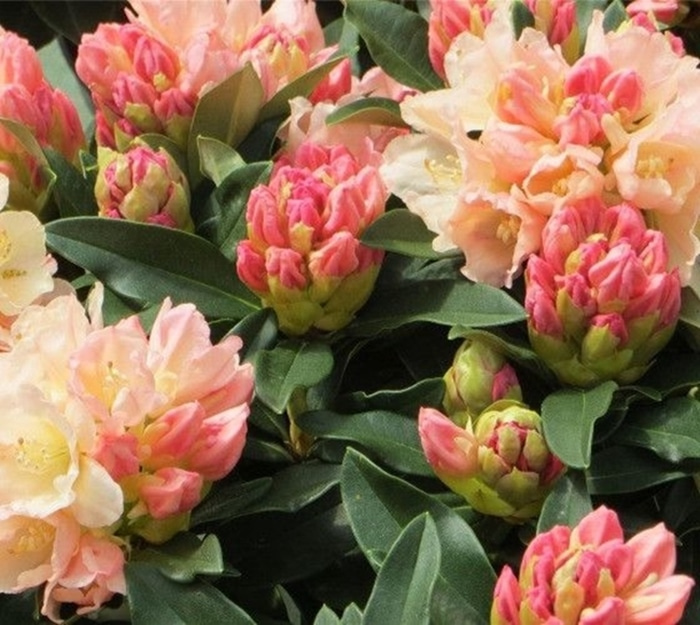 hoa do quyen cac mau20