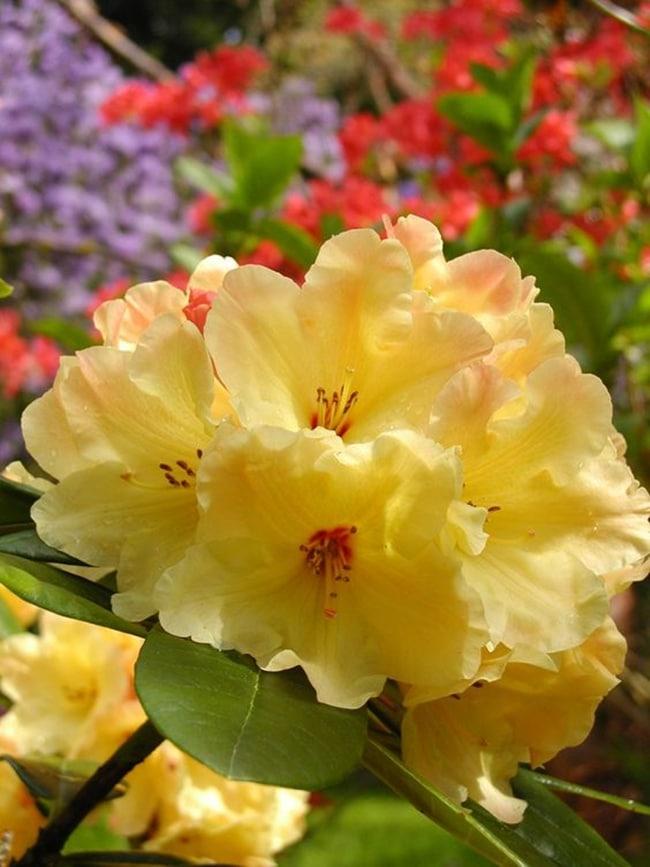 hoa do quyen cac mau5