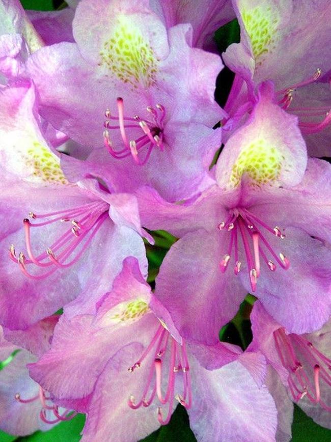 hoa do quyen cac mau6