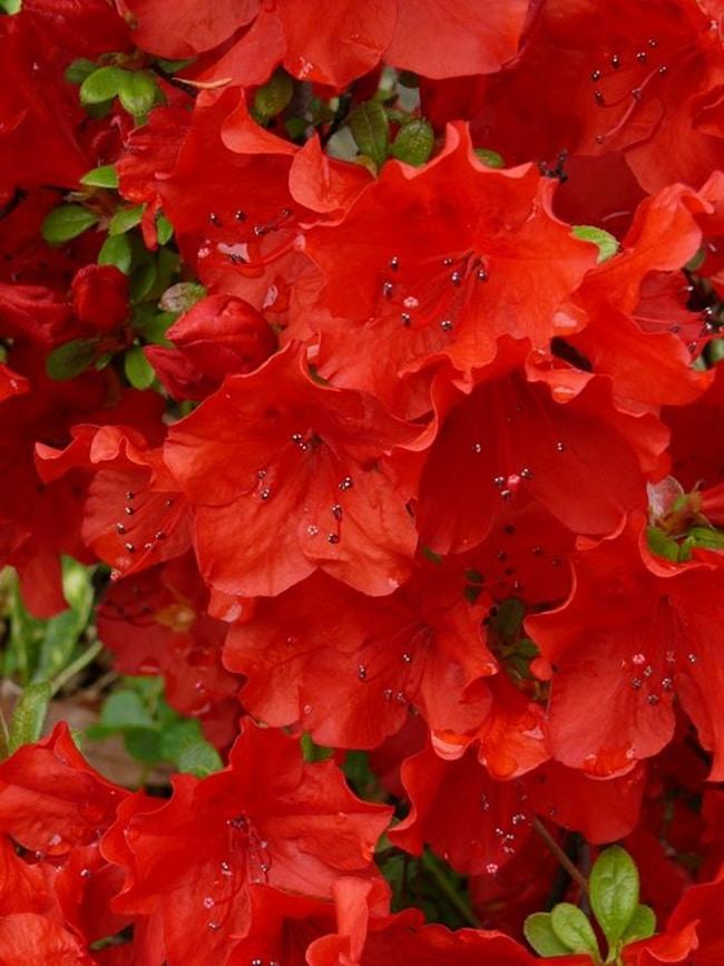 hoa do quyen cac mau7