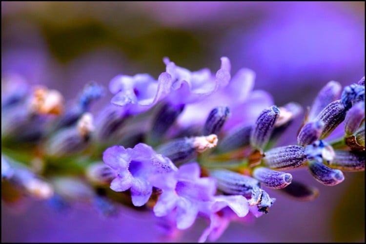 hoa oai huong bieu tuong cua su tinh te