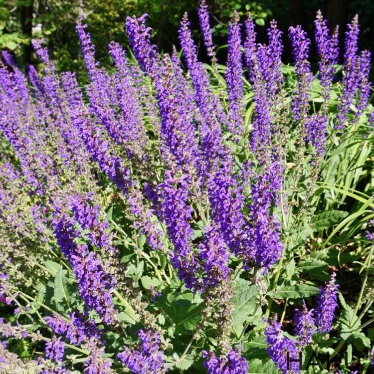 Spike Lavender cac loai hoa lavender