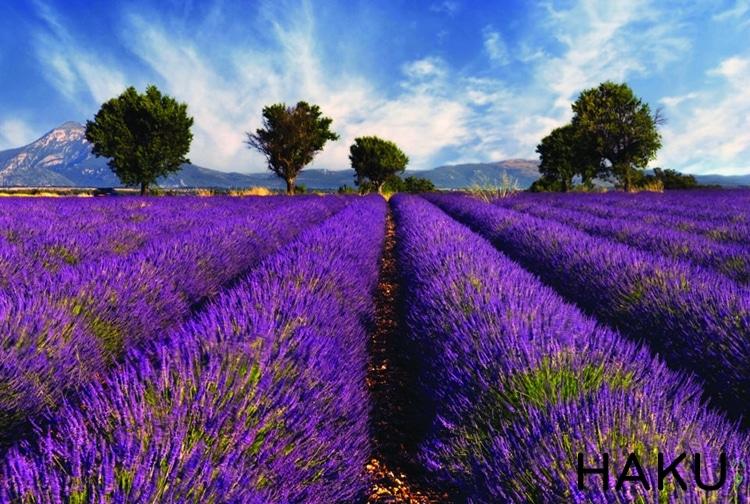 dong hoa lavender tim
