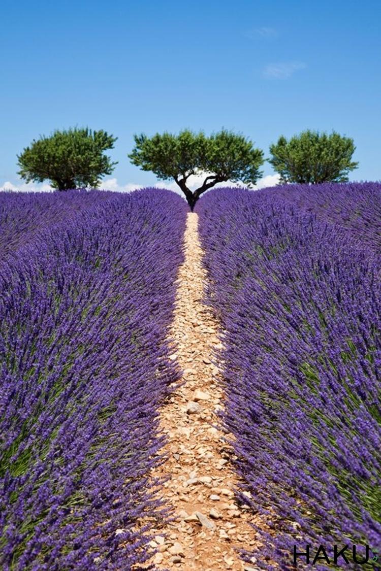 canh dong hoa lavender o phap dep