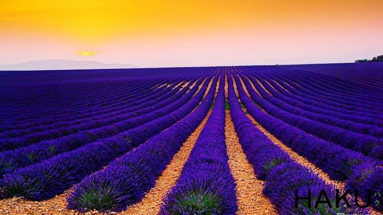 canh dong hoa lavender o provence