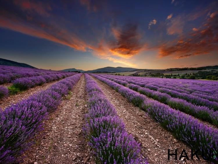 canh dong hoa oai huong lavender o provence phap