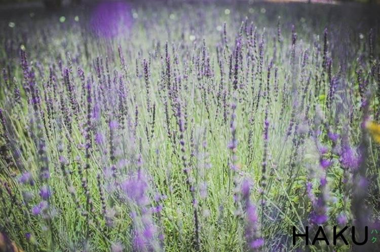 canh dong lavender da lat