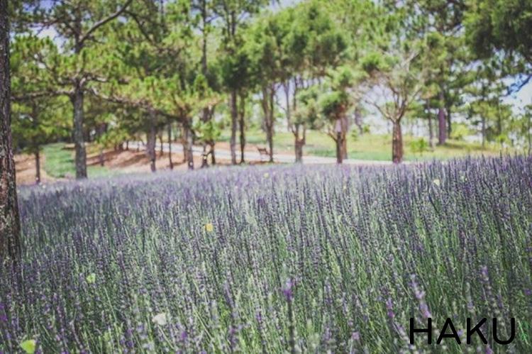 dia chi vuon hoa oai huong lavender o da lat nen den mot lan trong doi