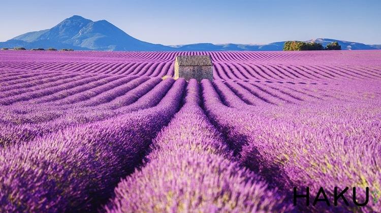 doi hoa lavender
