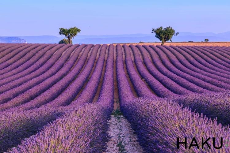 doi hoa oai huong lavender