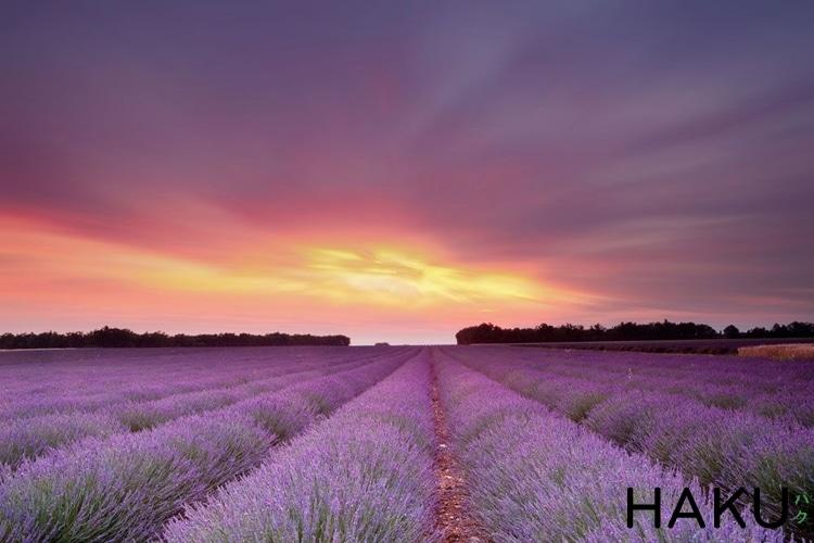 dong hoa lavender