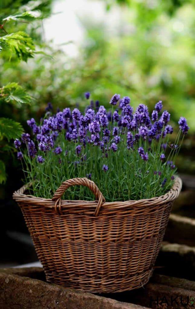 hinh anh cach trong hoa oai huong lavender bang hat chi tiet de lam tai nha