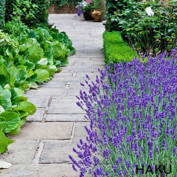 hinh anh cach trong hoa oai huong lavender bang hat
