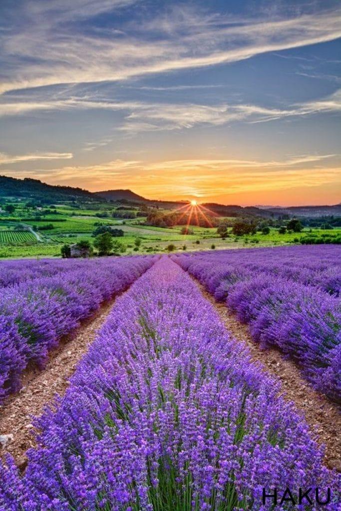 hinh anh canh dong hoa oai huong lavender o phap dep