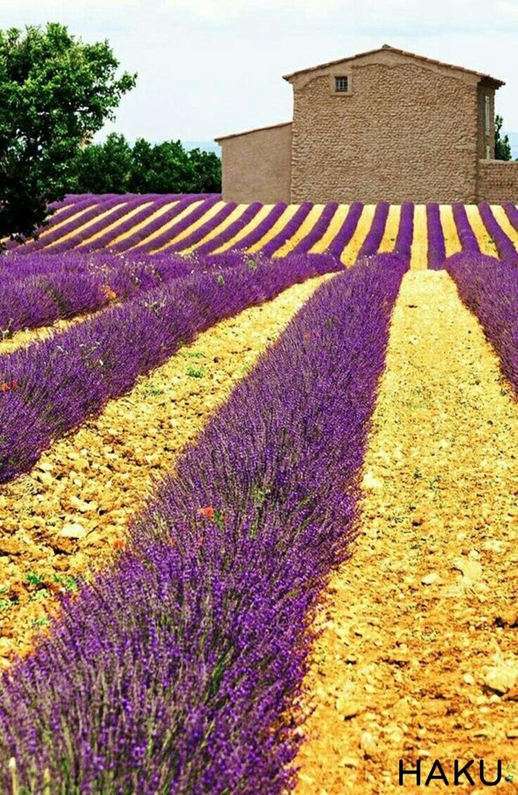 hinh anh canh dong hoa oai huong lavender o phap