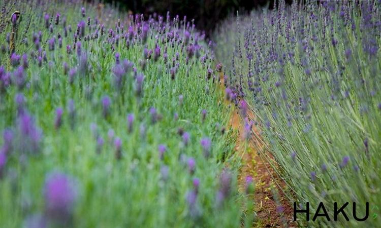 hinh anh dia chi vuon hoa oai huong lavender o da lat nen den mot lan trong doi
