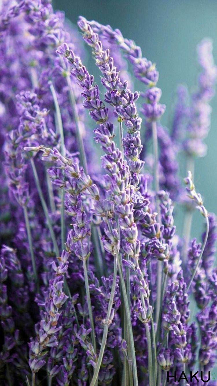 hinh anh hoa lavender dep