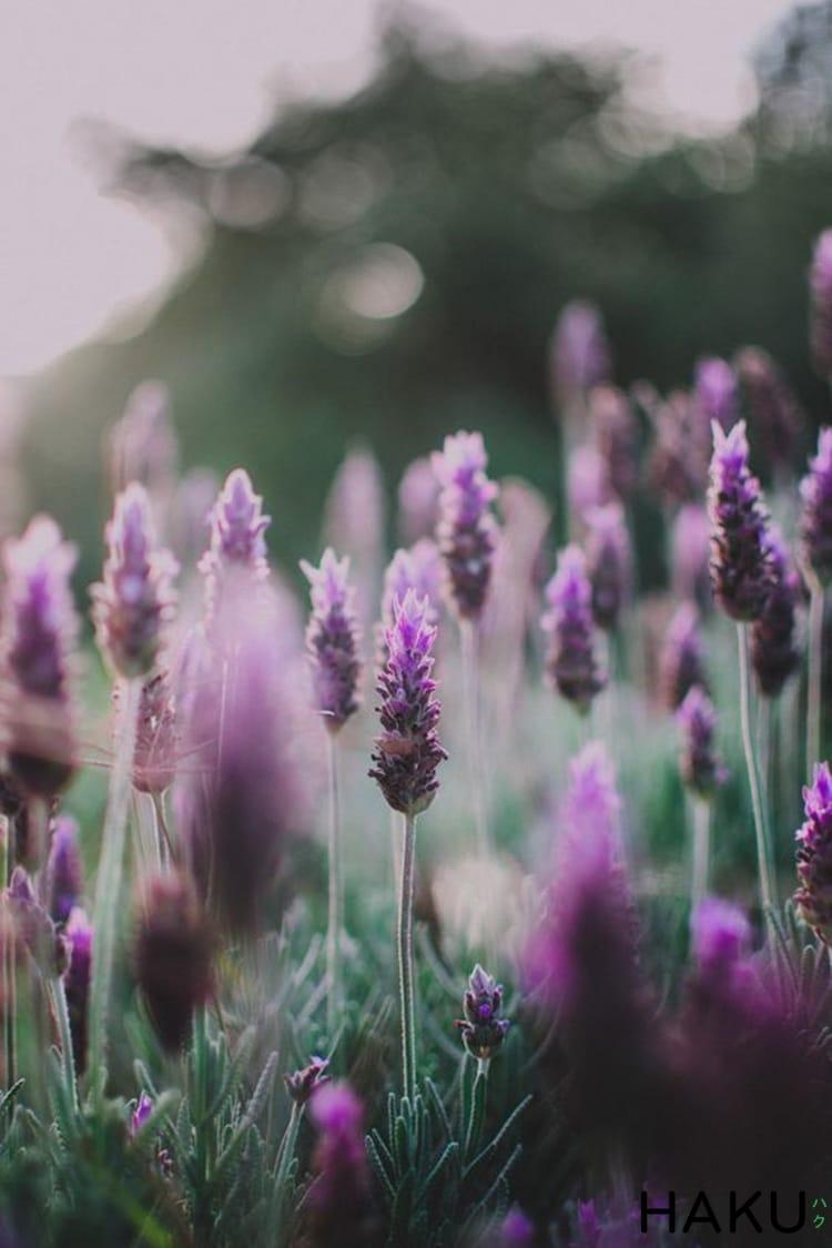 hinh anh hoa oai huong lavender dep
