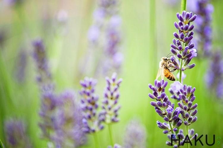 phan biet cac loai hoa lavender