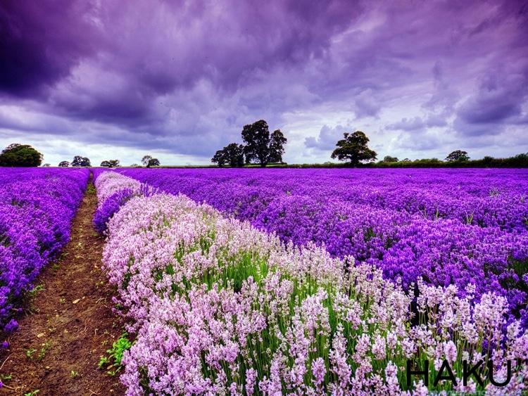 sac mau lavender