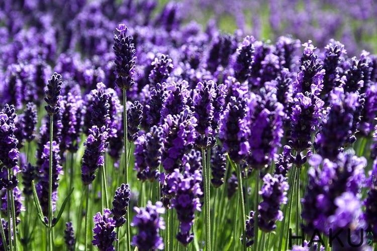 true Lavender hoa oai huong Phap