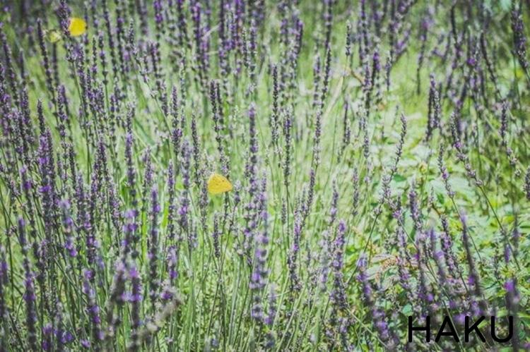 vuon hoa oai huong lavender o thung lung tinh yeu da lat