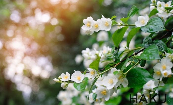 hinh anh y nghia cua hoa nhai