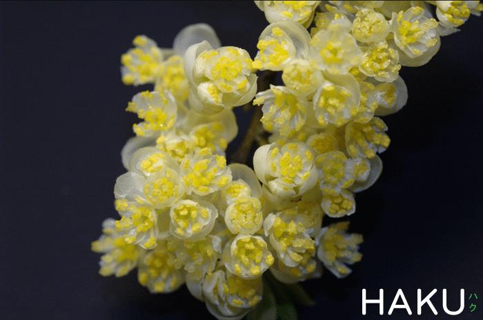 hoa mang tang