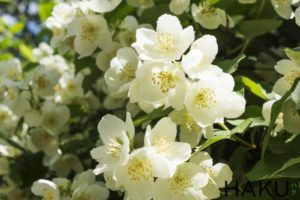 y nghia cua hoa nhai jasmine