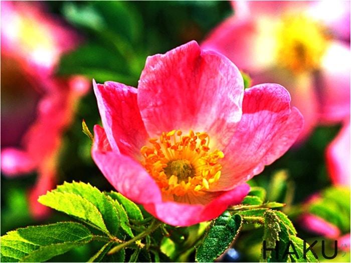 y nghia cua hoa tam xuan 4