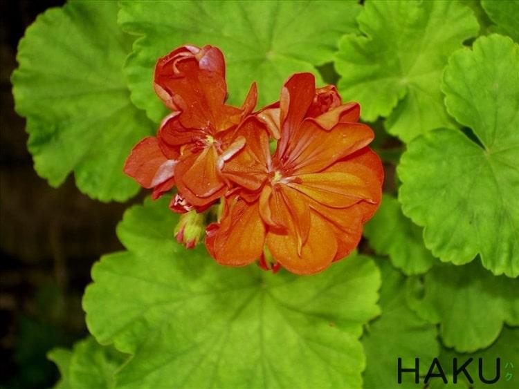 hinh anh hoa phong lu Geranium