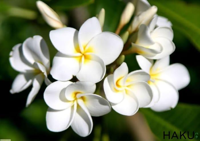 hoa thom