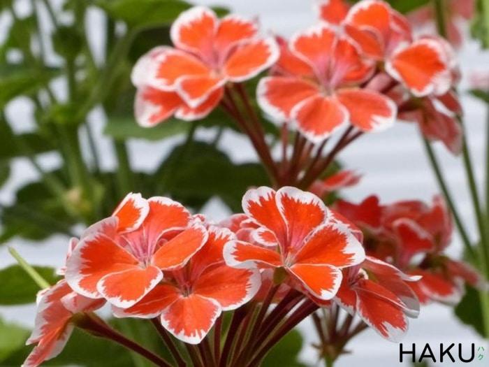 nhung loai hoa co huong thom de chiu