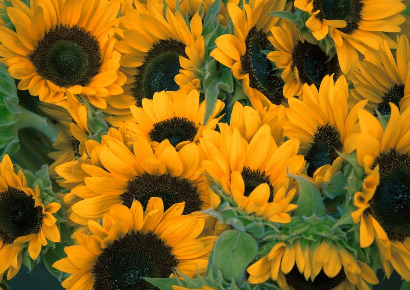 gioi thieu ve hoa huong duong
