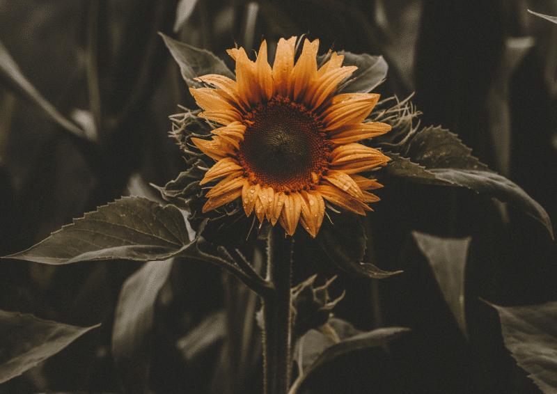 hinh hoa huong duong dep