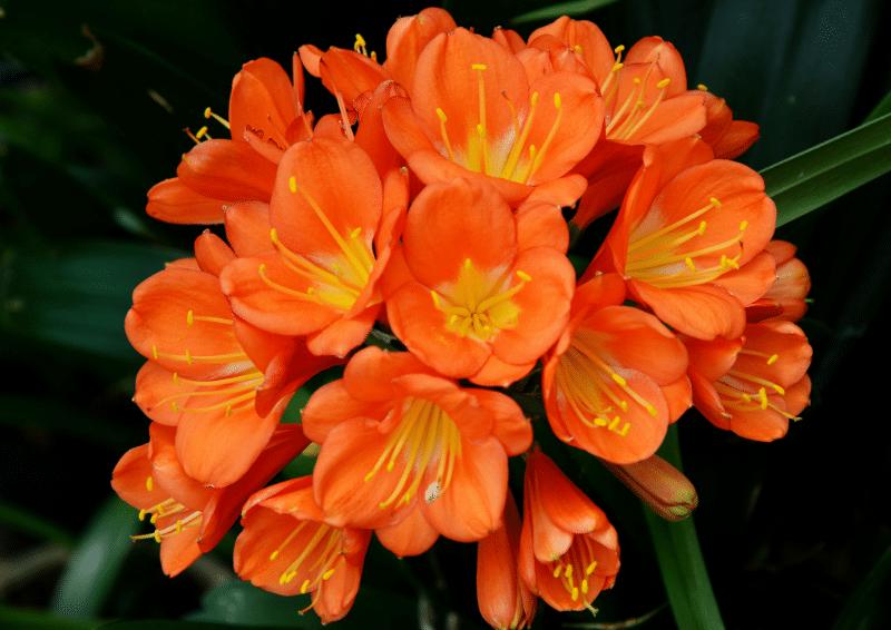 hoa do quyen cam