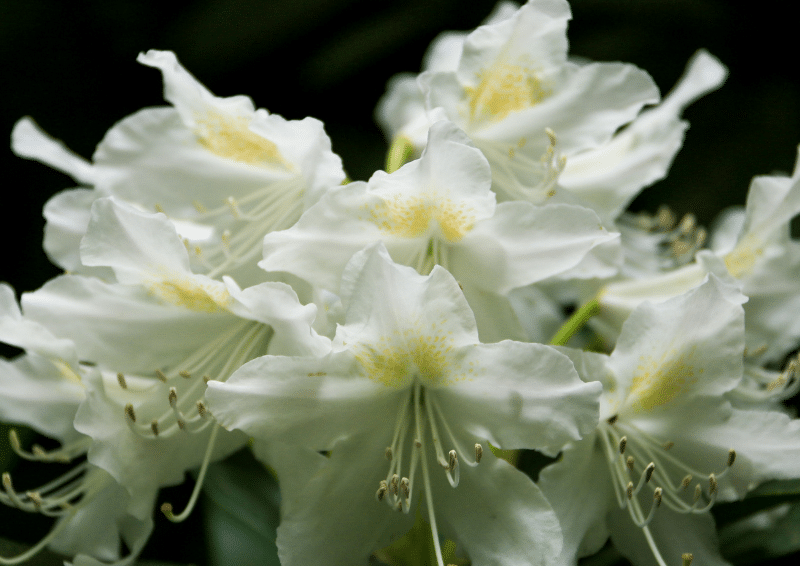 hoa do quyen trang